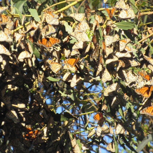 monarch-pismo-butterflies-leaves-up-close