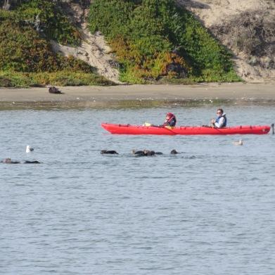 moss-landing-otters