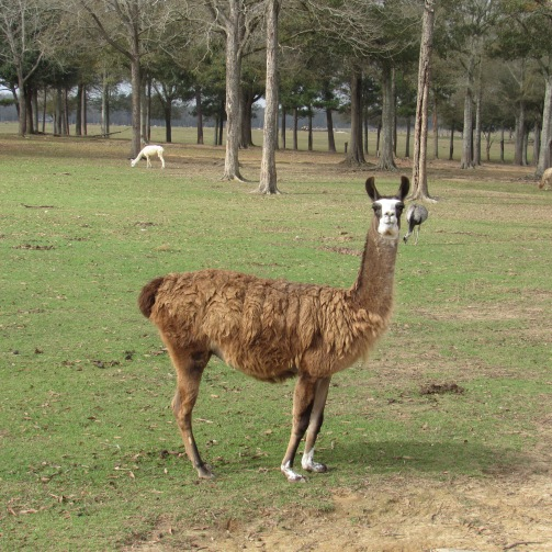alpaca staring