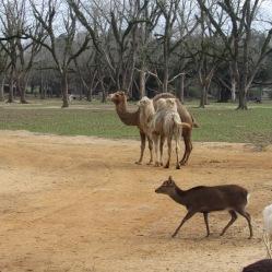 global-camels