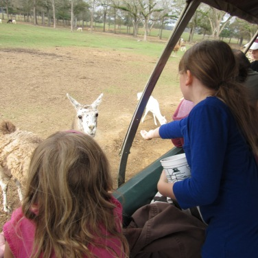 global-kate-feeding-alpaca
