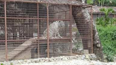 white tiger holt