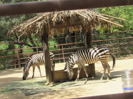zebras great shot
